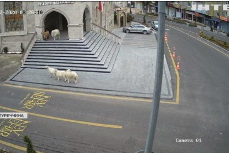 У Туреччині вівці з ягнятами атакували адміністрацію