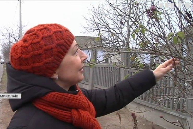 Аномальна погода: у Миколаєві серед зими розквітли яблуні