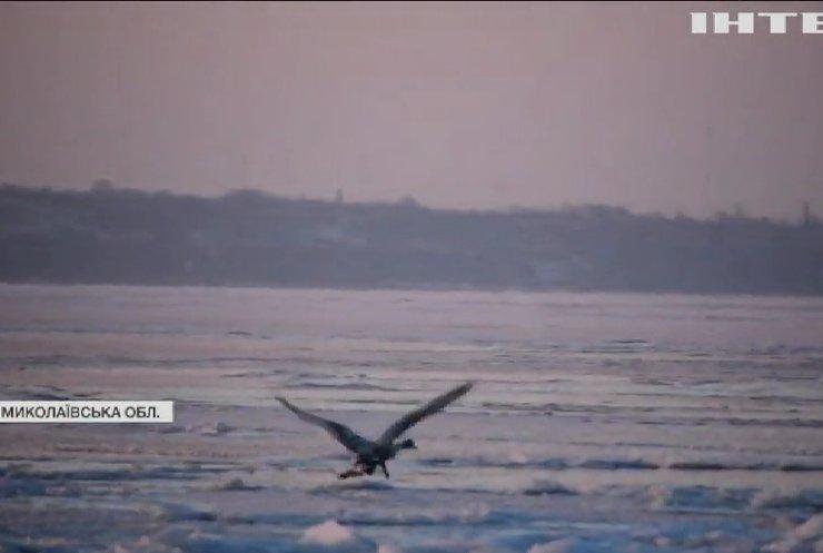 На Миколаївщині залишилася зимувати зграя лебедів