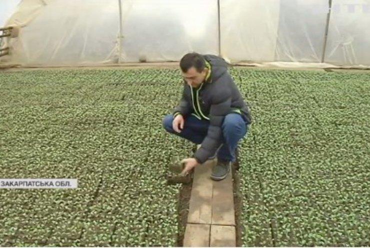 На Закарпатті селяни масово вирощують капусту для всієї України