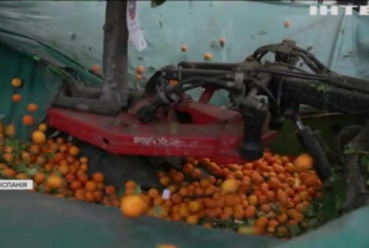 В Іспанії струшують міські апельсини