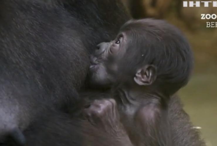 У Берлінському зоопарку народилась горила