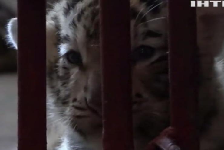 У Кубі народилося рідкісне біле тигреня