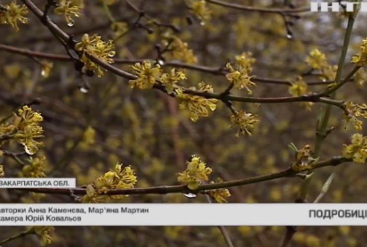 Настаріша плантація кизилу в Україні: чому не достатньо доглядають?