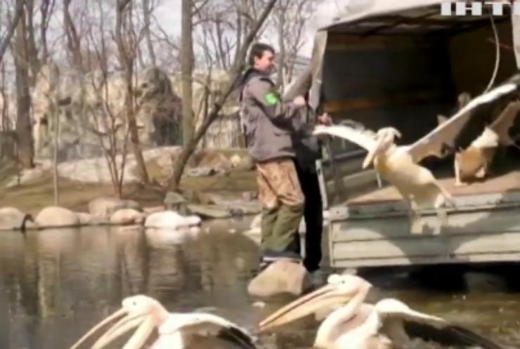 У київському зоопарку випустили пеліканів на озеро