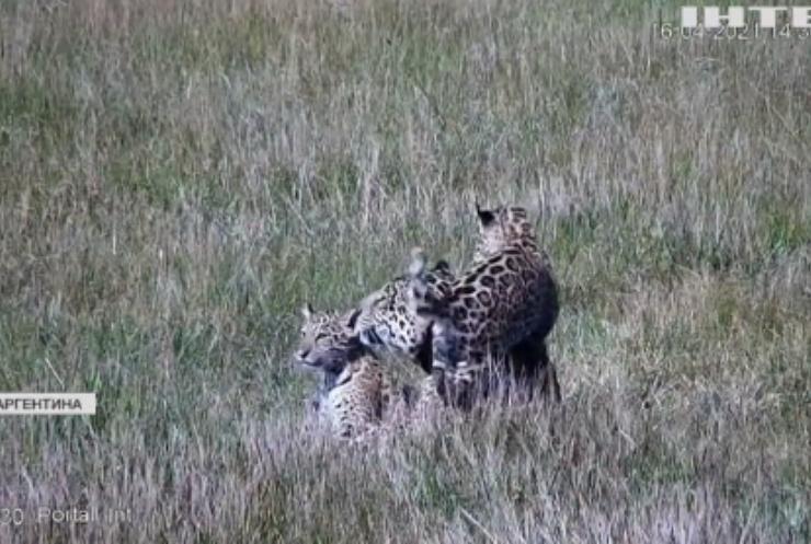 В Аргентині вивели двох дитинчат ягуара