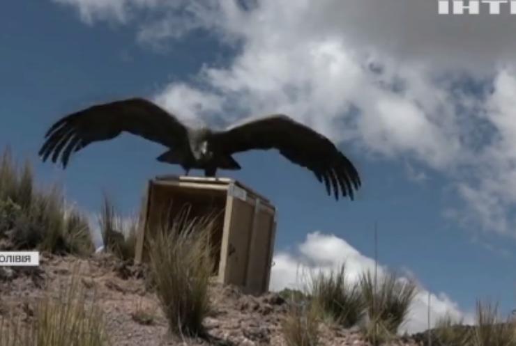 Болівійські ветеринари випустили у дику природу рідкого птаха