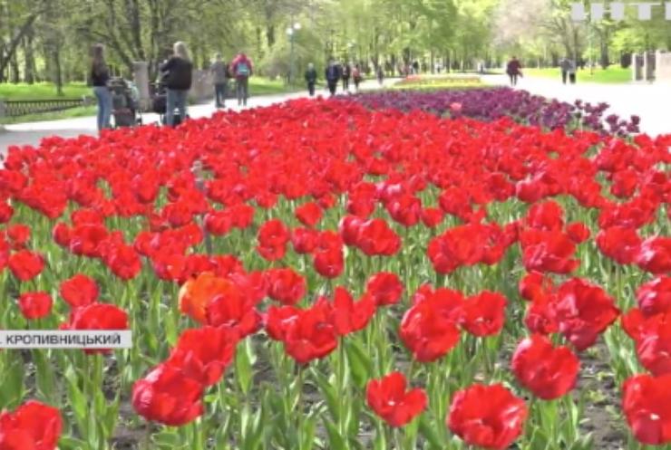 У Кропивницькому розквітли три мільйони тюльпанів