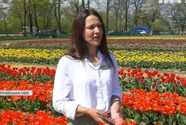 У Чернівецькій області розквітла величезна долина тюльпанів