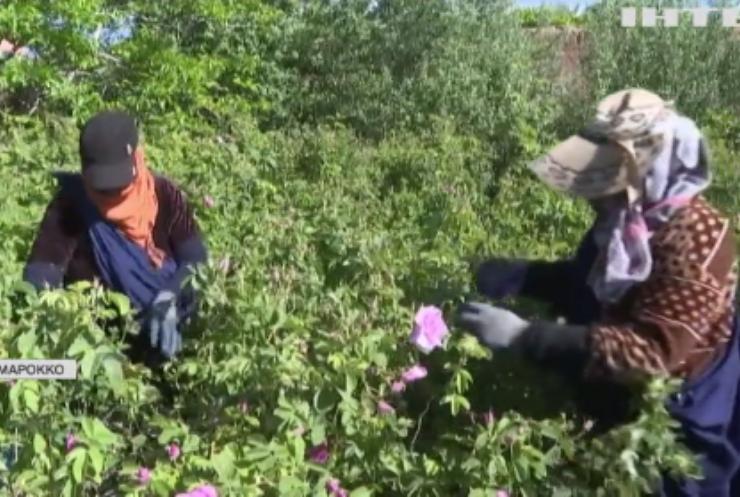 У Марокко збирають тонни рожевих троянд