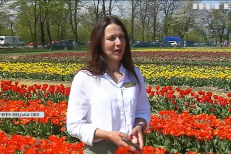 Поблизу Чернівців розквітли понад три мільйони тюльпанів