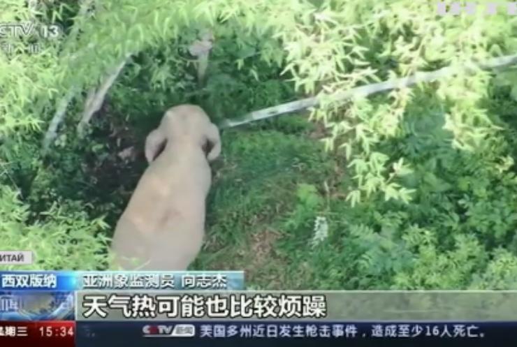 Китайські слони продовжують мігрувати