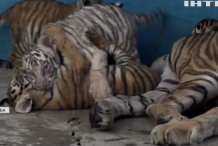 У національному зоопарку Куби народився білий тигр