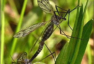 """Ученые нашли новый метод  """"нейтрализации """" малярийных комаров."""