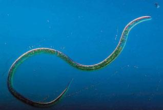 У всех круглых червей тело несегментированное, имеет в поперечном...