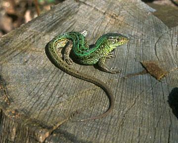 Наличие хвоста влияет на социальный статус ящерицы. Фото rusbiophoto.com
