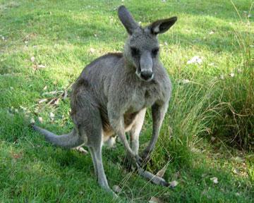 Австралийцы любят кенгуру, но терпеть их больше не хотят. Фото с сайта ecosystema.ru