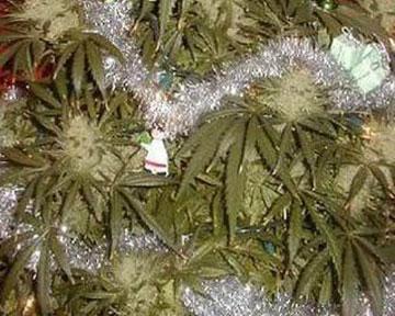 Немец использовал куст марихуаны как новогоднюю елку