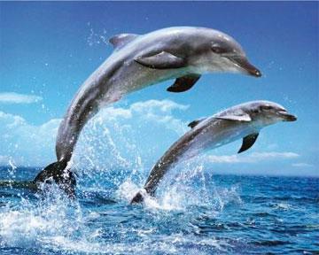 Дельфины общаются, не прибегая к свисту