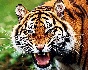 Взрослая тигрица совершила побег из приморского зооцентра