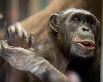 Шимпанзе способны разрабатывать коварные планы