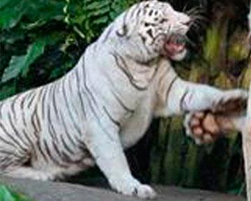 В чили белый тигр напал на сотрудника