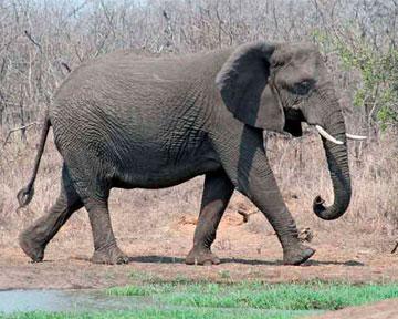 Слон осваивает новую профессию.