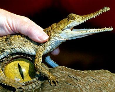 Немецкому зоопарку пришлось переименовать крокодила Фиделя