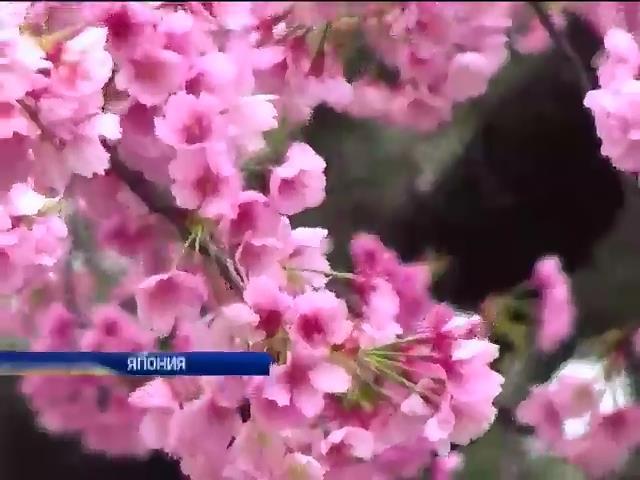 В Японии зацвела сакура (видео)
