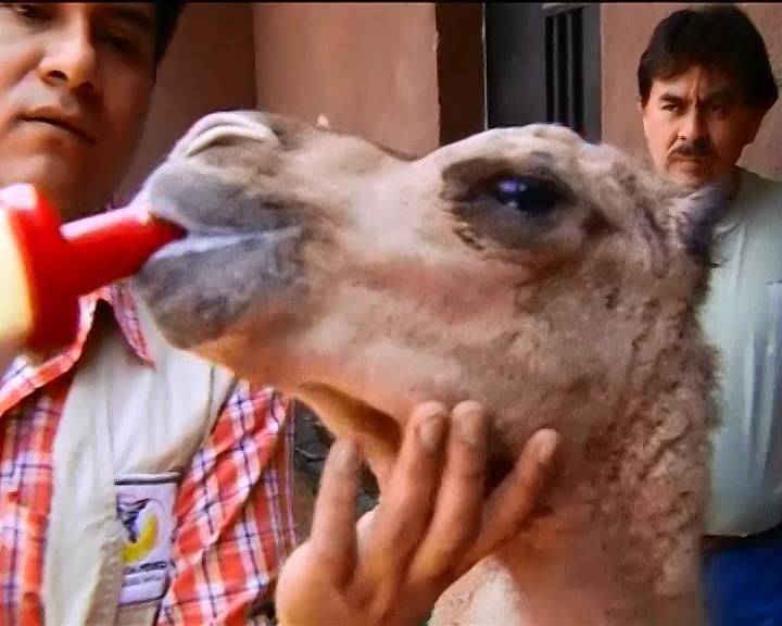 В зоопарке Мехико родился одногорбый верблюд (видео) (видео)