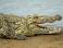 Пятиметровый крокодил съел туриста в Австралии