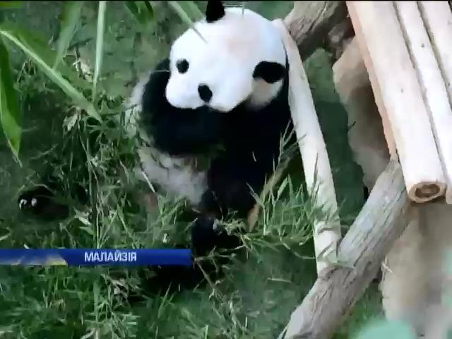 Китай передав Малайзii двох панденят (видео)