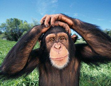 Британские ученые научились понимать шимпанзе
