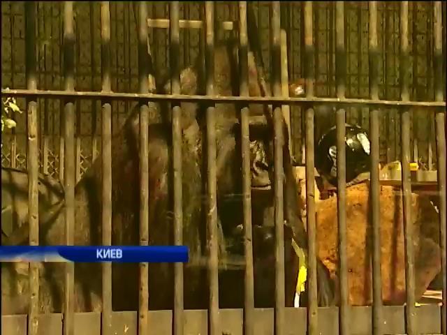 Столичный зоопарк отмечает день рождения гориллы Тони (видео) (видео)