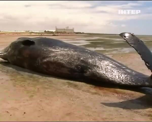 Сiм кашалотiв викинулися на берег Австралii (видео)