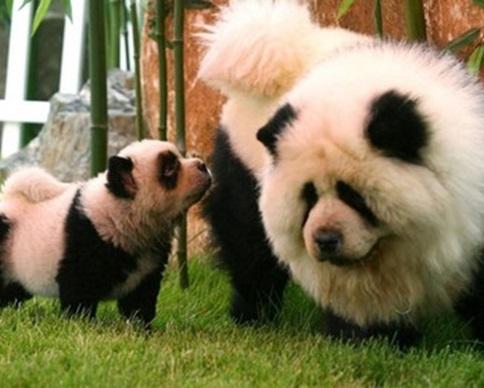 В цирке Италии собак выдали за панд