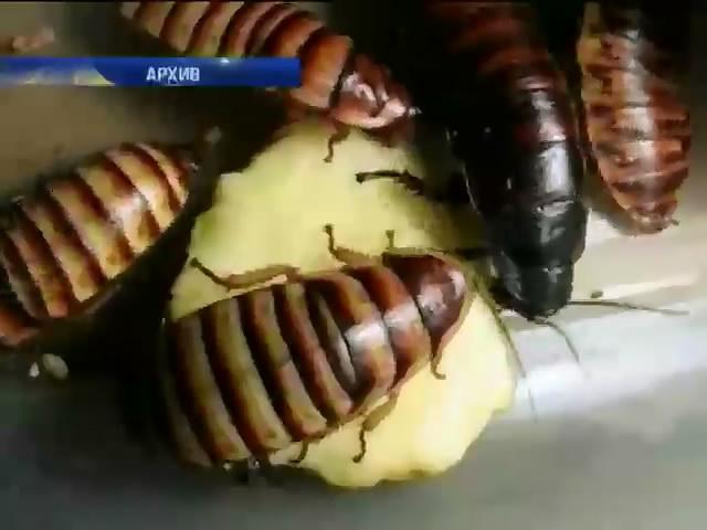 В Сан-Франциско ко Дню Святого Валентина предлагают тараканов (видео)